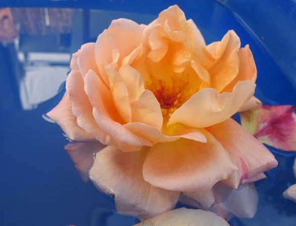 roseorange